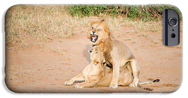 Wild Animals iPhone Cases - Lion Pair Panthera Leo Mating iPhone Case by Panoramic Images