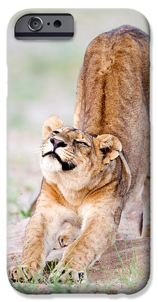 Tarangire iPhone Cases - Lioness Panthera Leo Stretching iPhone Case by Panoramic Images