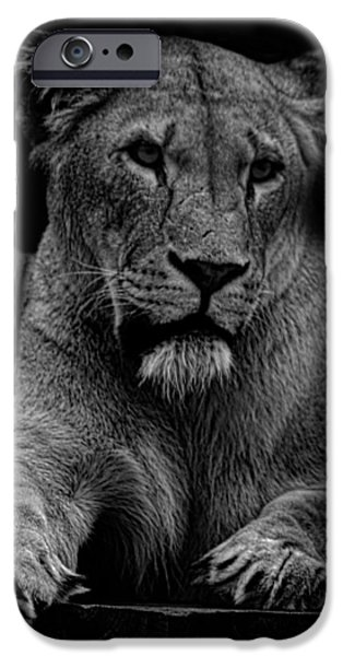 Lioness iPhone Cases - Lioness Portrait iPhone Case by Martin Newman