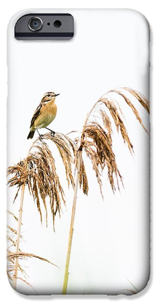 No People Pyrography iPhone Cases - Little bird clinging to a reed stem iPhone Case by Attila Simon