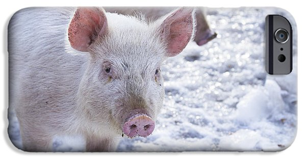 Piglets iPhone Cases - Little Piggies iPhone Case by Edward Fielding