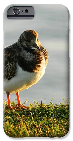 Little Turnstone iPhone Case by Sharon Lisa Clarke