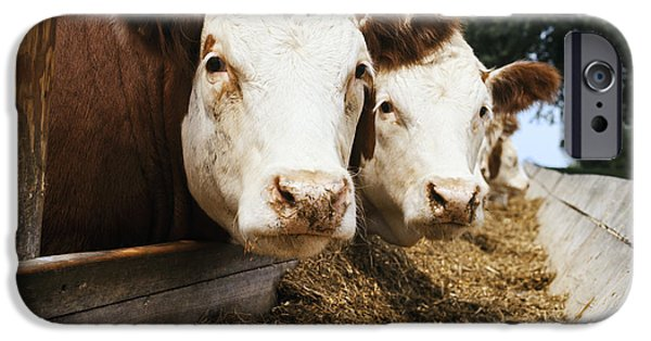 Nebraska iPhone Cases - Livestock - Whiteface Hereford Beef iPhone Case by Sunshine Unlimited