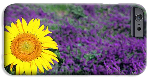 Sunflower Field iPhone Cases - Lone Sunflower In Lavender Field, France iPhone Case by Panoramic Images