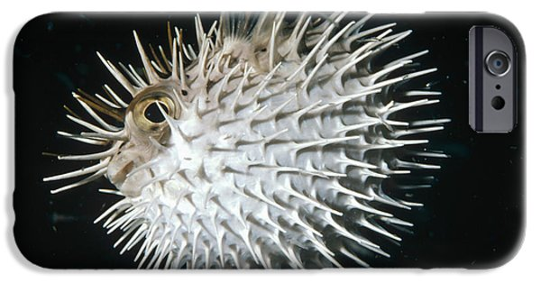 Porcupine Fish iPhone Cases - Long-spine Porcupinefish North America iPhone Case by Flip Nicklin