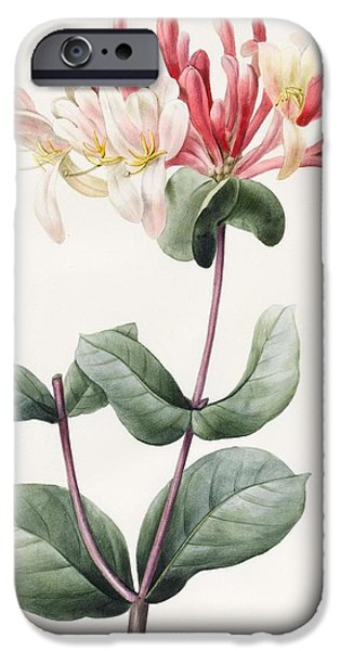 Flora Drawings iPhone Cases - Lonicera Periclymenum  iPhone Case by Louise D Orleans