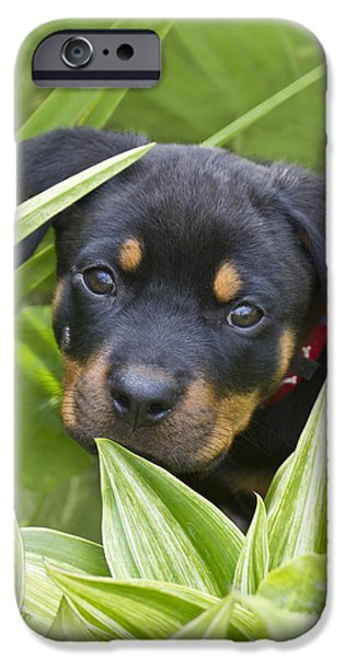 Rottweiler Puppy iPhone Cases - Look for me iPhone Case by Heiko Koehrer-Wagner