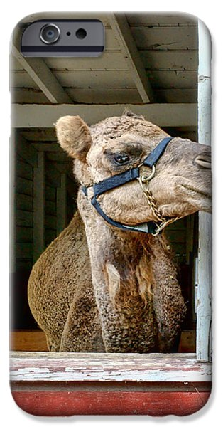 Camel Photographs iPhone Cases - Look Left iPhone Case by Nikolyn McDonald