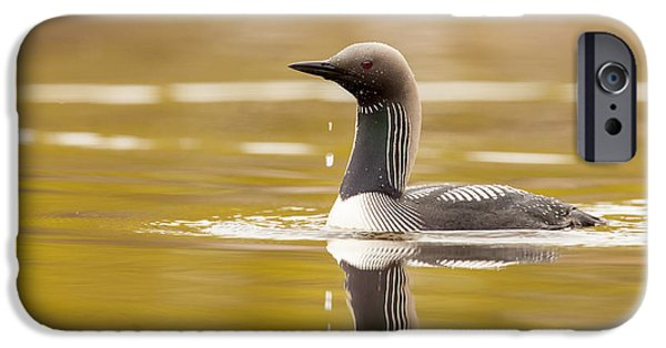 Loon iPhone Cases - Looking for the Intruder iPhone Case by Tim Grams