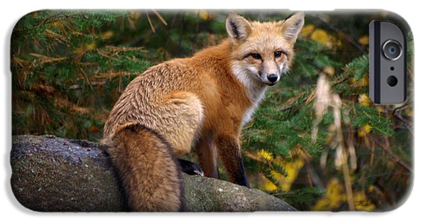 Dog Close-up iPhone Cases - Looking Pretty Foxy iPhone Case by James Peterson
