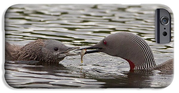 Feeding Young iPhone Cases - Loon Feeding Chick iPhone Case by Dr. Hinrich Bäsemann