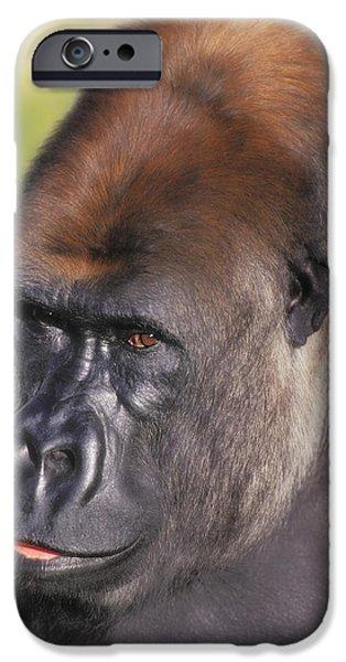 Gorilla iPhone Cases - Lowland Gorillaflorida United States iPhone Case by Thomas Kitchin & Victoria Hurst
