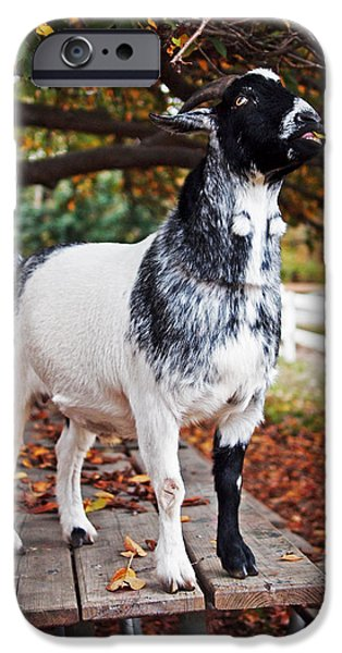 Equestrian Center iPhone Cases - Lunch with Goat iPhone Case by Rona Black