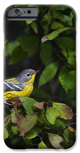 Magnolia Warbler iPhone Case by Christina Rollo