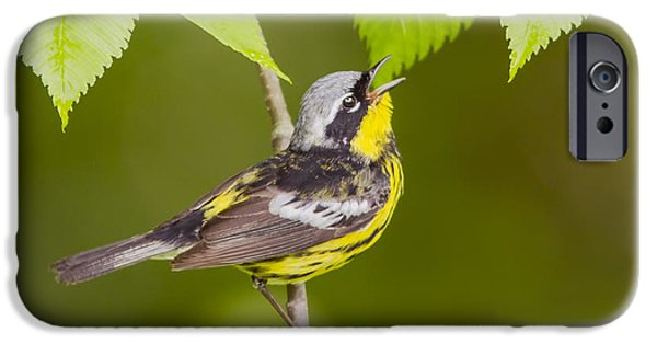 Warbler iPhone Cases - Magnolia warbler iPhone Case by Mircea Costina Photography