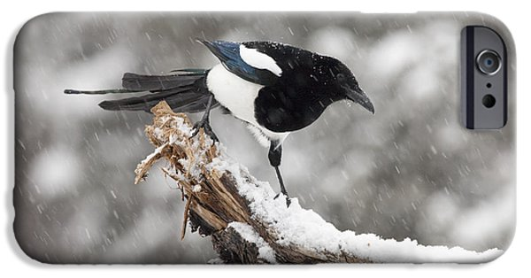 Magpies iPhone Cases - Magpie Out on A Branch iPhone Case by Tim Grams