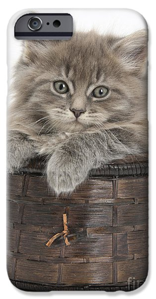 Old Maine Houses iPhone Cases - Maine Coon Kitten, Basket iPhone Case by Mark Taylor