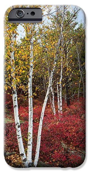 Maine iPhone Cases - Maines Acadia National Park White Birch Tree Photo iPhone Case by Bill Swindaman