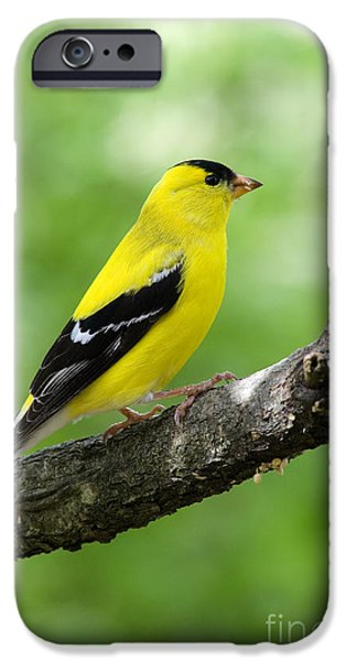 Fletcher iPhone Cases - Male American Goldfinch iPhone Case by Thomas R Fletcher