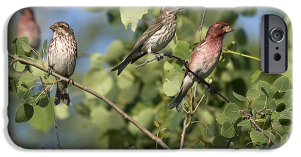 Finch iPhone Cases - Male And Female Purple Finches iPhone Case by Linda Freshwaters Arndt