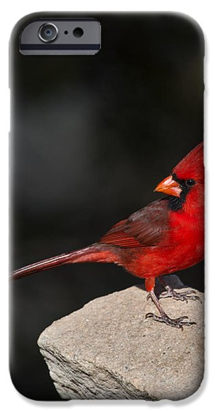 Bunting iPhone Cases - Male Cardinal iPhone Case by Gary Langley