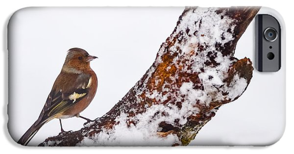 Fauna Pyrography iPhone Cases - Male Common Chaffinch  on branch iPhone Case by Attila Simon