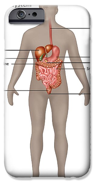 Sigmoid Colon iPhone Cases - Male Digestive System iPhone Case by Gwen Shockey