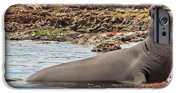 Ano Nuevo iPhone Cases - Male Elephant Seal Calling iPhone Case by Natural Focal Point Photography