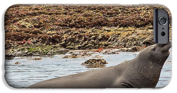 Ano Nuevo iPhone Cases - Male Elephant Seal in Ano Nuevo California State Park iPhone Case by Natural Focal Point Photography