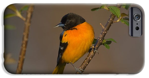 Oriole iPhone Cases - Male Northern Oriole iPhone Case by Thomas and Pat Leeson