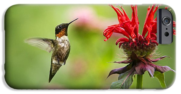 Fauna iPhone Cases - Male Ruby-Throated Hummingbird Hovering Near Flowers iPhone Case by Christina Rollo