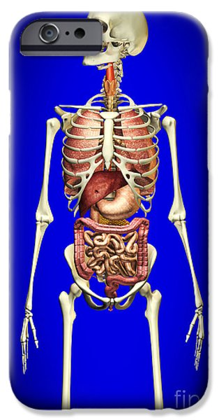 Small iPhone Cases - Male Skeleton With Internal Organs iPhone Case by Leonello Calvetti