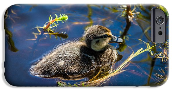 Sea Birds iPhone Cases - Mallard Duckling Swimming, Flatey iPhone Case by Panoramic Images