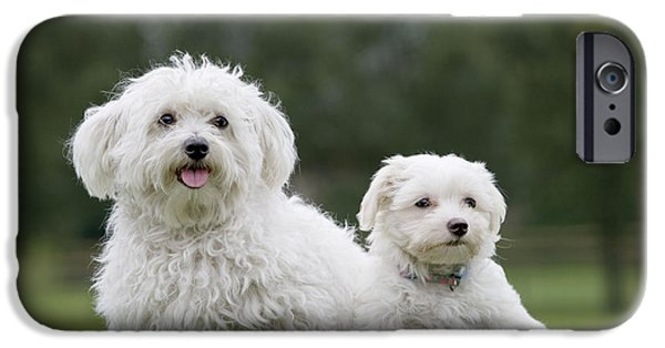 Maltese Puppy iPhone Cases - Maltese Dog With Puppy iPhone Case by Johan De Meester