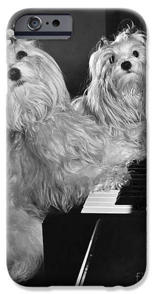 Piano iPhone Cases - Maltese Pups iPhone Case by M. E. Browning