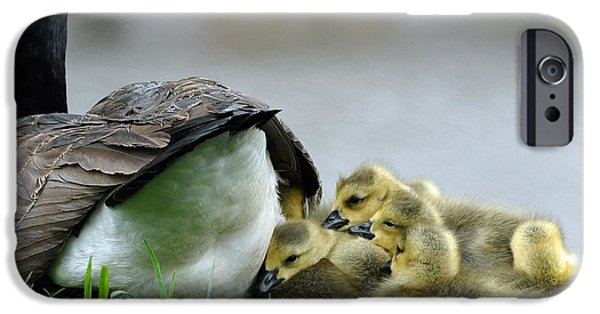 Babies iPhone Cases - Mama and Goslings iPhone Case by Lisa  Phillips
