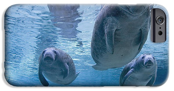 Manatee iPhone Cases - Manatee Parade by Todd Essick iPhone Case by Todd Essick