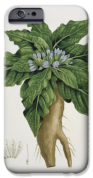 Horticultural Drawings iPhone Cases - Mandragora Officinarum iPhone Case by LFJ Hoquart