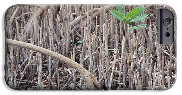 Rhizophora Mangle iPhone Cases - Mangrove Sprout iPhone Case by Paul Rebmann