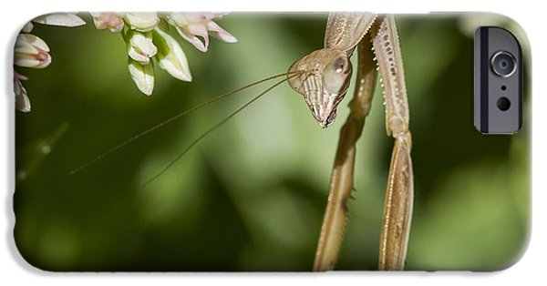 Mantises iPhone Cases - Mantis Hanging Out iPhone Case by Jean Noren