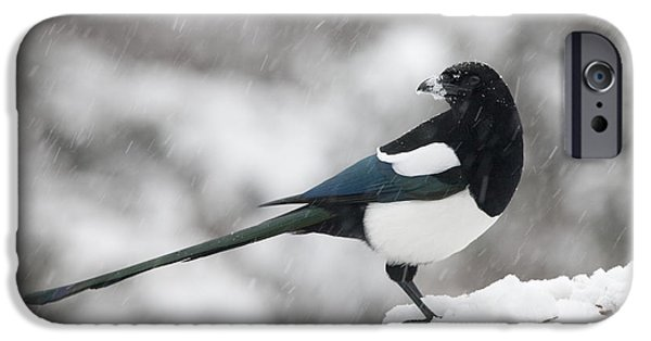 Magpies iPhone Cases - Mapgie in Profile iPhone Case by Tim Grams