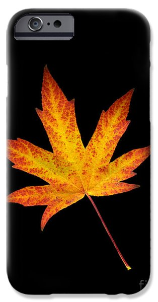 Scanography iPhone Cases - Maple Leaf on Black iPhone Case by Sharon  Talson