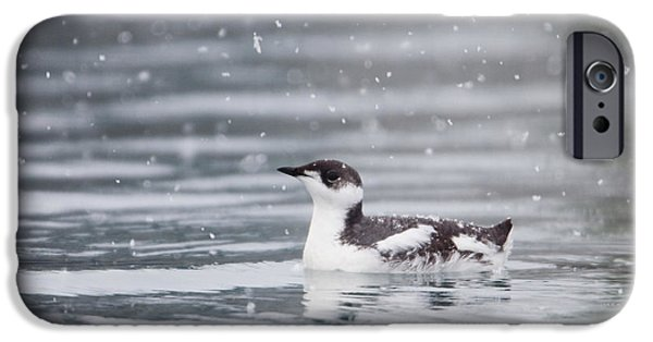 Prince William iPhone Cases - Marbled Murrelet With Winter Plumage iPhone Case by Milo Burcham