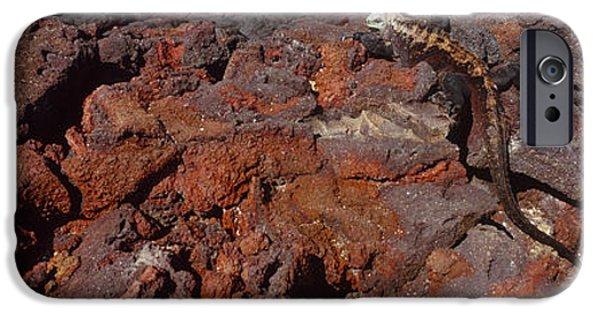Iguana iPhone Cases - Marine Iguana Amblyrhynchus Cristatus iPhone Case by Panoramic Images