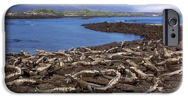 Iguana iPhone Cases - Marine Iguanas Amblyrhynchus Cristatus iPhone Case by Panoramic Images