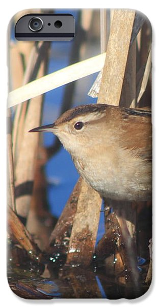 Marsh Wren iPhone Case by John Burk