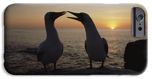 Boobies iPhone Cases - Masked Booby Couple Courting Galapagos iPhone Case by Konrad Wothe