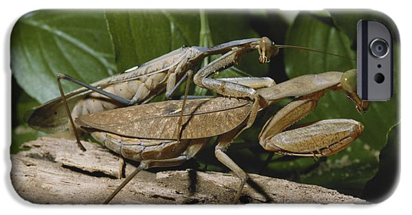 Mantodea iPhone Cases - Mating African Mantises iPhone Case by Buchold/Okapia
