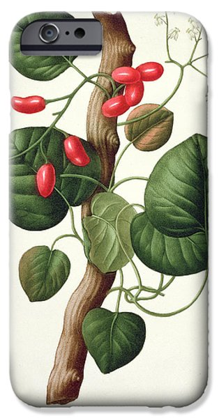 Flora Drawings iPhone Cases - Menispermum iPhone Case by LFJ Hoquart