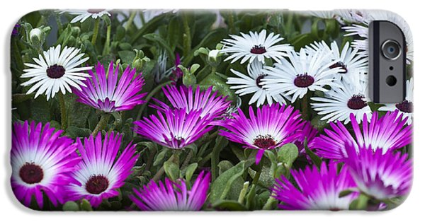 Small iPhone Cases - Mesembryanthemums 1 iPhone Case by Steve Purnell
